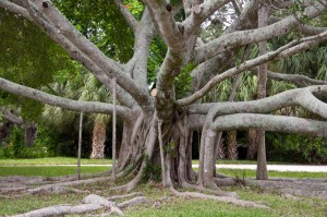 Siesta Key, FLA Tree